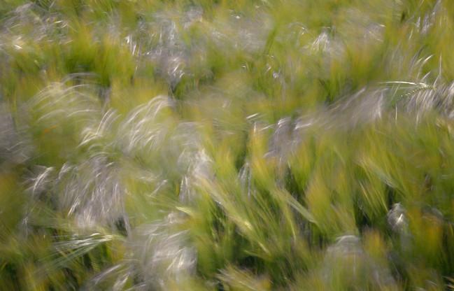 Wind in wheat.jpg