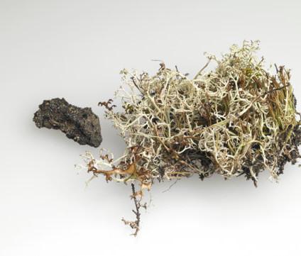 Mosi - hraun / moss - lava