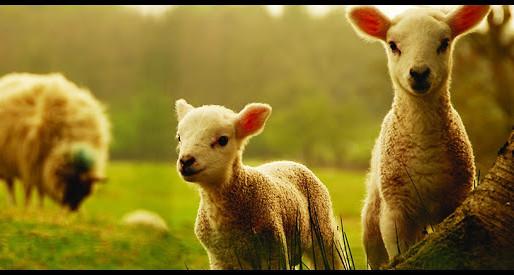 Permaneça perto do seu pastor, ovelhinha. por Gloria Furman