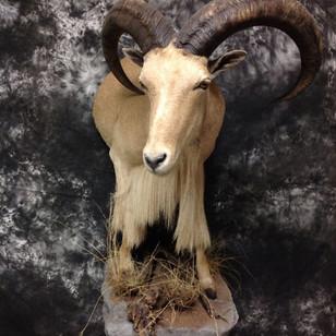 Aoudad Sheep Half Lifesize