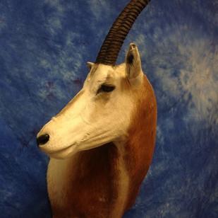 Scimitar Oryx 90 Degree turn Right