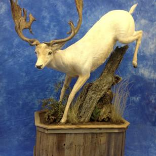 Fallow Deer Lifesize