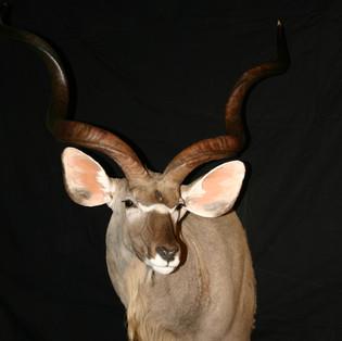 Greater Kudu Semi-Sneak Left Turn