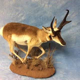 Pronghorn Antelope Lifesize