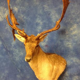 Fallow Deer Wall Pedestal Left Turn