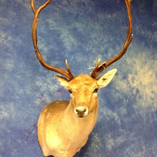 Spotted Fallow Deer Sem-Sneak Right Turn