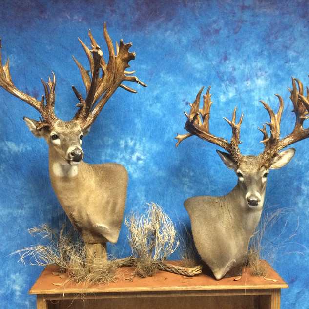 Full Pedistal Whitetail Deer on a Book S