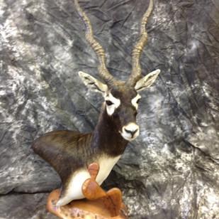 Blackbuck Antelope table top Pedestal