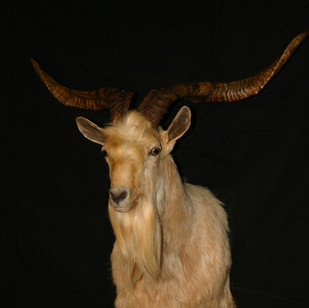 Catalina Goat Straight