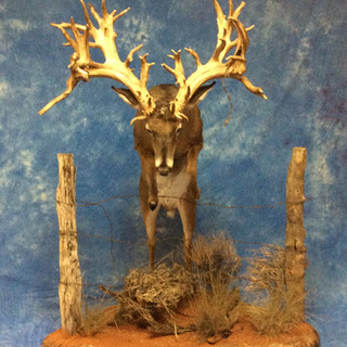Whitetail Deer Lifesize