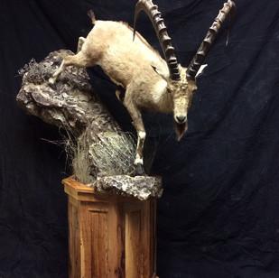 Ibex Lifesize