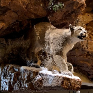 Mountain Lion Lifesize