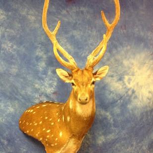 Axis Deer Wall Pedestal Right Turn