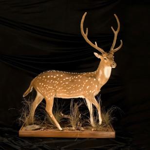 Axis Deer Lifesize