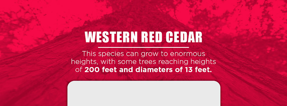 western red cedar can reach a height of 200 feet