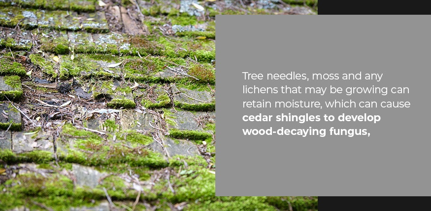 Fungus growing on cedar roof shingles