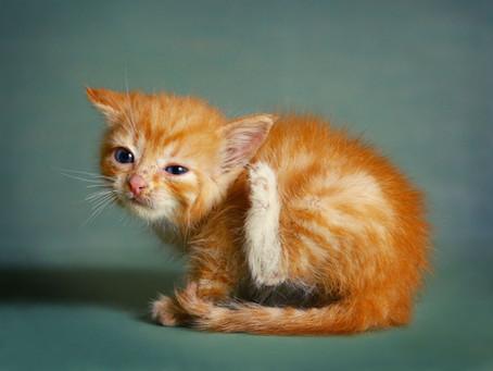 Le chat et la gale des oreilles