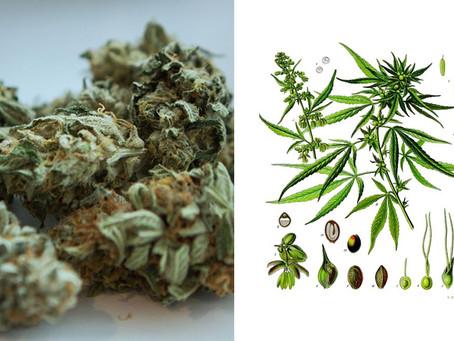 Haschisch et marijuana : Différences, effets et avantages