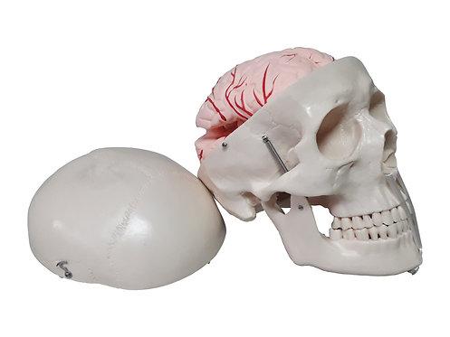 Cráneo con Cerebro Desmontable