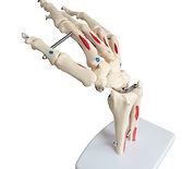 Modelos Anatómicos de Hombro, Codo, Cadera, Mano, Pie y Rodilla de Ciedutec Lab