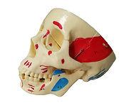 Modelos Anatómicos de Cráneos de Ciedutec Lab