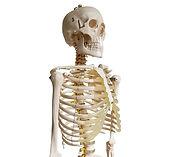 esqueleto torso copia.jpg