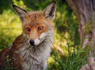fox-british-wildlife.jpg