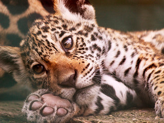 A jaguar cub named Keira