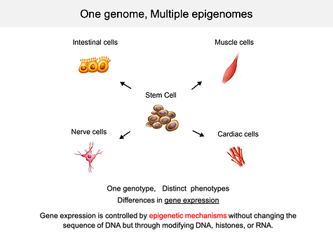 one genome multiple phenotypes.png