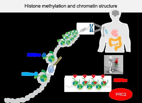 histone methylation and chromatin struct