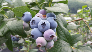Container Gardening: Let's Hear it for the Blueberries