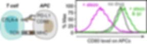 PD-L1-protects-CD80.jpg