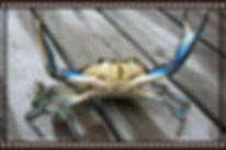 Male Blue Crab - callinectes sapidus blue crabs