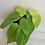 """Thumbnail: 4"""" Lemon Philodendron"""