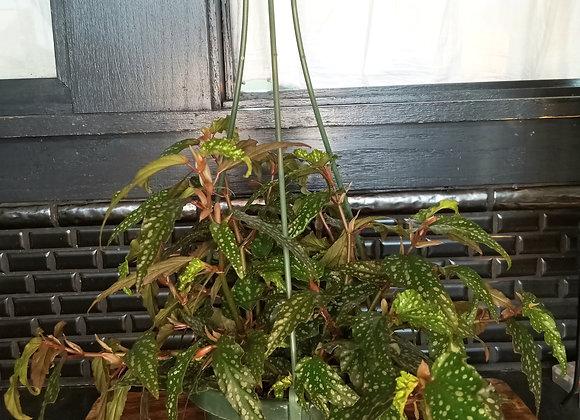 """6"""" Angelwing Begonia"""