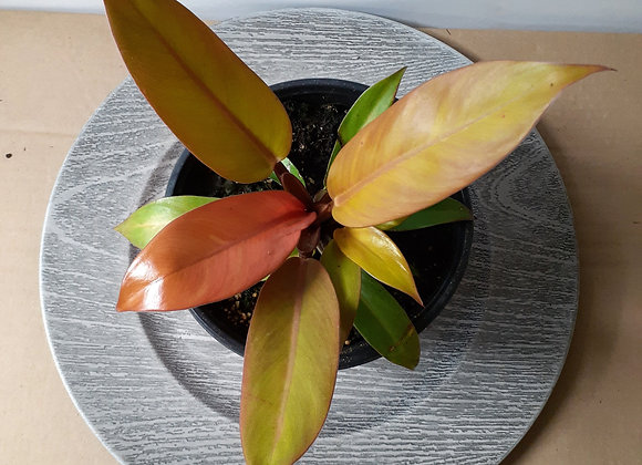"""6"""" Philodendron Prince of Orange"""