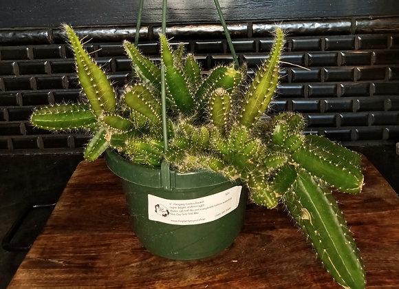 """6"""" Cactus Hanging Basket"""
