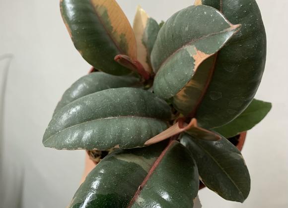 "4"" Ficus Ruby"