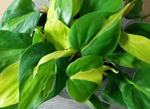 "6"" Philodendron Brasil"