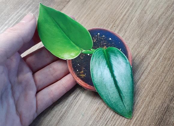 Scindapsis Moonlight Magnet or Sticker