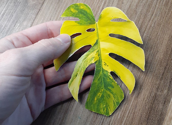 Monstera Aurea Magnet or Sticker