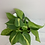 "Thumbnail: 4"" Brasil Philodendron"