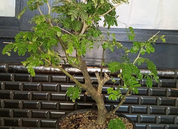 "6"" Brazilian Rain Tree"