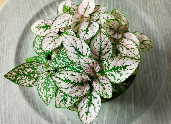 "4"" Polka Dot Plant pink"