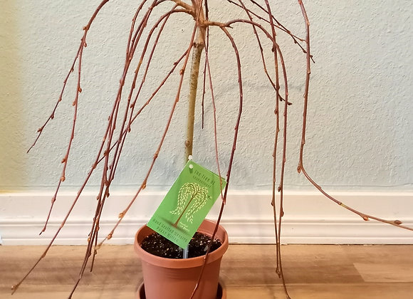 """6"""" Weeping Pussy Willow"""