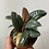 "Thumbnail: 4"" Ficus Ruby"