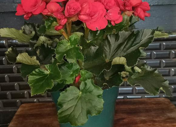"""6"""" Reiger Begonia"""