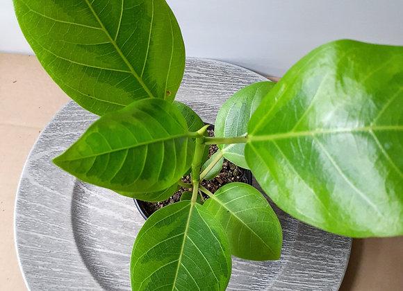 """4"""" ficus altissima/ rubber tree"""
