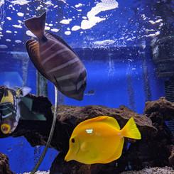 YellowFish.jpg