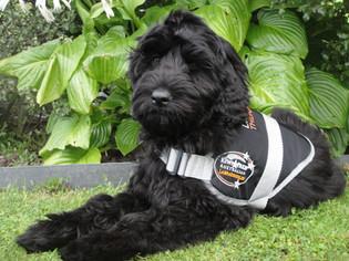 ziggy therapy puppy
